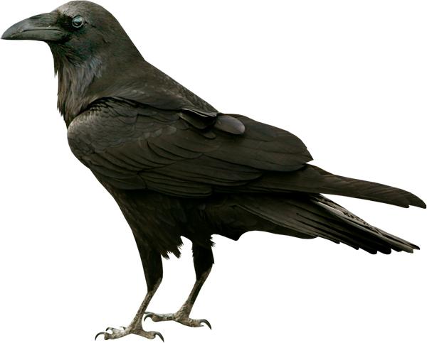 Вороны радуются… от ума