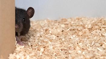Крысы играют в прятки, чайки — в йо-йо